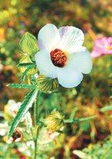 Din reţetele domnului farmacist Bobaru: Tratamente cu plante pentru BOLILE DE RINICHI (I)