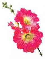 Tratamentul cu plante al bolilor primăverii (1) - AFECŢIUNILE RESPIRATORII şi ASTENIA