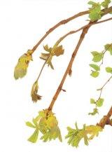 Detoxifierea de primăvară - Cura cu lăstari şi muguri de plante