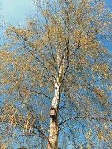Mesteacănul - copacul tinereţii şi al renaşterii