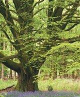 Puterea vindecătoare a copacilor - FAGUL