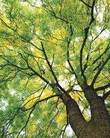 Puterea vindecătoare a copacilor - FRASINUL