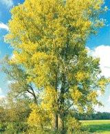 Puterea vindecătoare a copacilor - PLOPUL