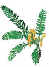 Planta nemuririi - ZĂVĂCUSTA (Astragalus dasyanthus Pall)