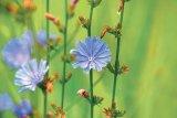 Florile lunii MAI: Cicoarea, păducelul şi trandafirii