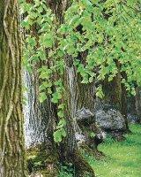 Puterea vindecătoare a copacilor - TEIUL