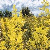 Florile magice ale verii: Sânzienele (Galium verum)
