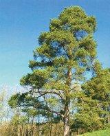 Puterea vindecătoare a copacilor - PINUL (Pinus)