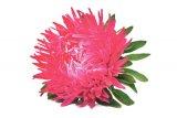 Leacuri orientale - Crizantemele