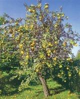 Puterea vindecătoare a copacilor: GUTUIUL (Cydonia oblonga)