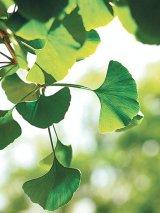 Planta circulaţiei sângelui - GINKGO BILOBA: În căutarea celui mai pur extract