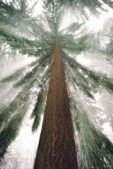 Din reţetele domnului farmacist Bobaru: Preparate din conifere
