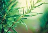 Două plante de trecut iarna: MĂGHIRANUL şi ROZMARINUL