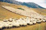 FORMULA AS ÎN MUNŢII CIBINULUI - Ultimii păstori din Jina