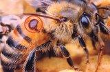 Apocalipsa albinelor