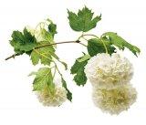 Din reţetele domnului farmacist Bobaru: Preparate farmaceutice din scoarţă de arbuşti şi copaci