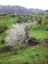Elegie pentru o floare de măr