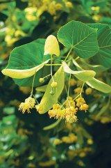 Simbolul vegetal al Iaşiului: TEIUL - arborele sfânt