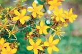 Tratamente rapide cu flori de câmp