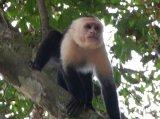 Balada unei maimuţici