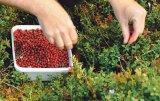 Merişoarele de munte - fructe mici, cu virtuţi imense pentru sănătate