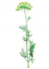 Leacuri proaspete, pentru anii copţi - Hormonii din plante