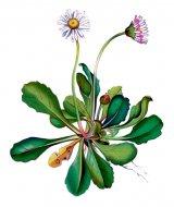 Sănătate cu flori - Violetele, năstureii şi ciuboţica-cucului