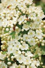 Florile lunii Mai - Păducelul şi Narcisa albă