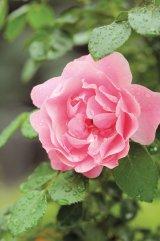 Sănătate cu flori de vară - Teiul, salcâmul şi trandafirul