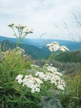 Din reţetele domnului farmacist Bobaru: Sănătate cu flori