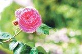 Din reţetele domnului farmacist Bobaru: Sănătate cu flori (2)