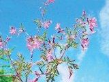 PLANTELE VERII - Năpraznicul (Geranium robertianum)