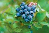 Fructele negre de pădure - COACĂZELE, AFINELE şi MURELE