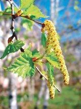 Tratamente cu MUGURI şi MLĂDIŢE de arbori, tufe şi flori