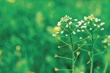Din reţetele domnului farmacist Bobaru: Tratamente cu plante rare