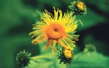 Din reţetele domnului farmacist Bobaru: Ultimele flori ale verii - Crăiţe, Podbal, Albăstrele, Iarbă-mare şi Brusture