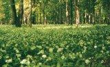 Terapia padurii (II) - Vindecatorii cu ramuri verzi: Mesteacanul, Fagul si Bradul