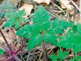Plantele verii: Napraznicul (Geranium robertianum) - O floare gingasa, cu putere de urias