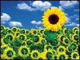 Floarea-soarelui - floarea vietii