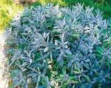 Salvia - planta care salveaza viata