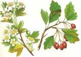 Floarea inimii: Paducelul