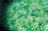 Fierea plantelor: Pelinul
