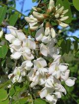 Ploi albe, cu flori de mai