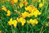 Florile vindecatoare ale lunii iulie