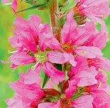 Plante uitate: Rachitanul