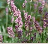 Floarea zanelor: Levantica