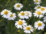 Precautii in folosirea plantelor medicinale (I)
