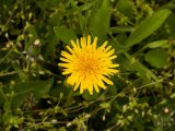 Precautii in folosirea plantelor medicinale (III)