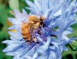 Scleroza in placi poate fi vindecata cu tratamente apicole