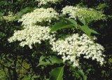 Florile de soc